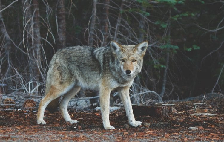 De wolf heeft zich definitief in Nederland gevestigd!