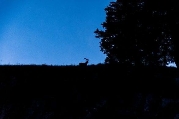 Vorarlberg steenbok