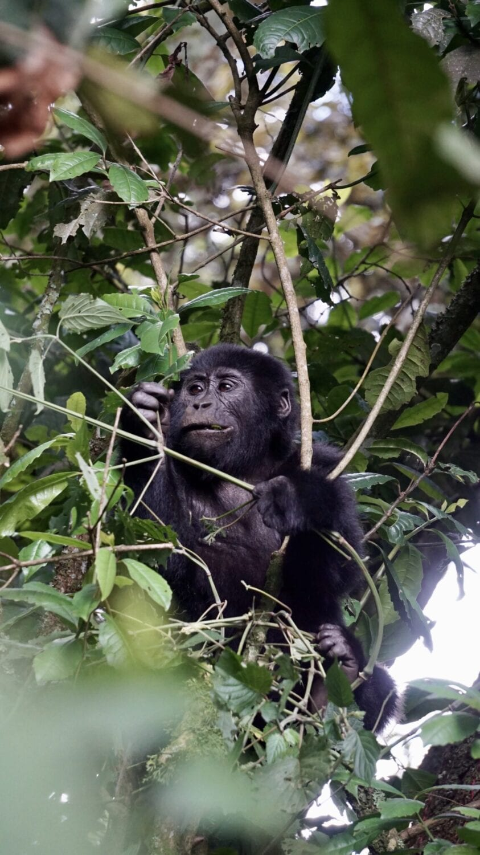 berggorilla Oeganda
