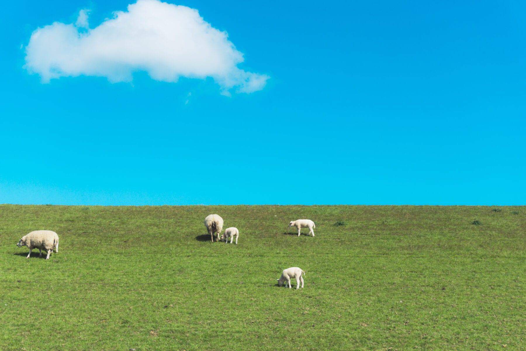 het waddengebied Vakantie naar Texel schapen en lammetjes