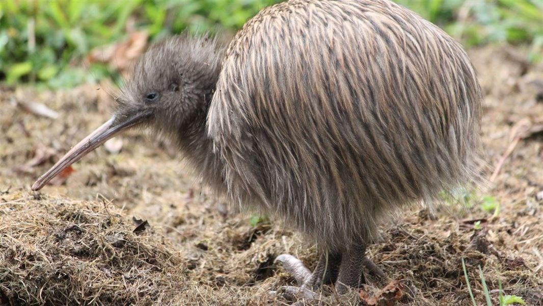 dieren Nieuw Zeeland