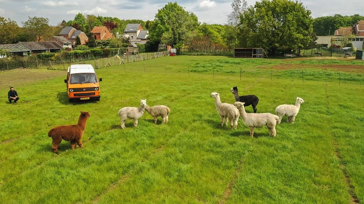 Kamperen tussen de Alpaca's in het Belgische Haacht