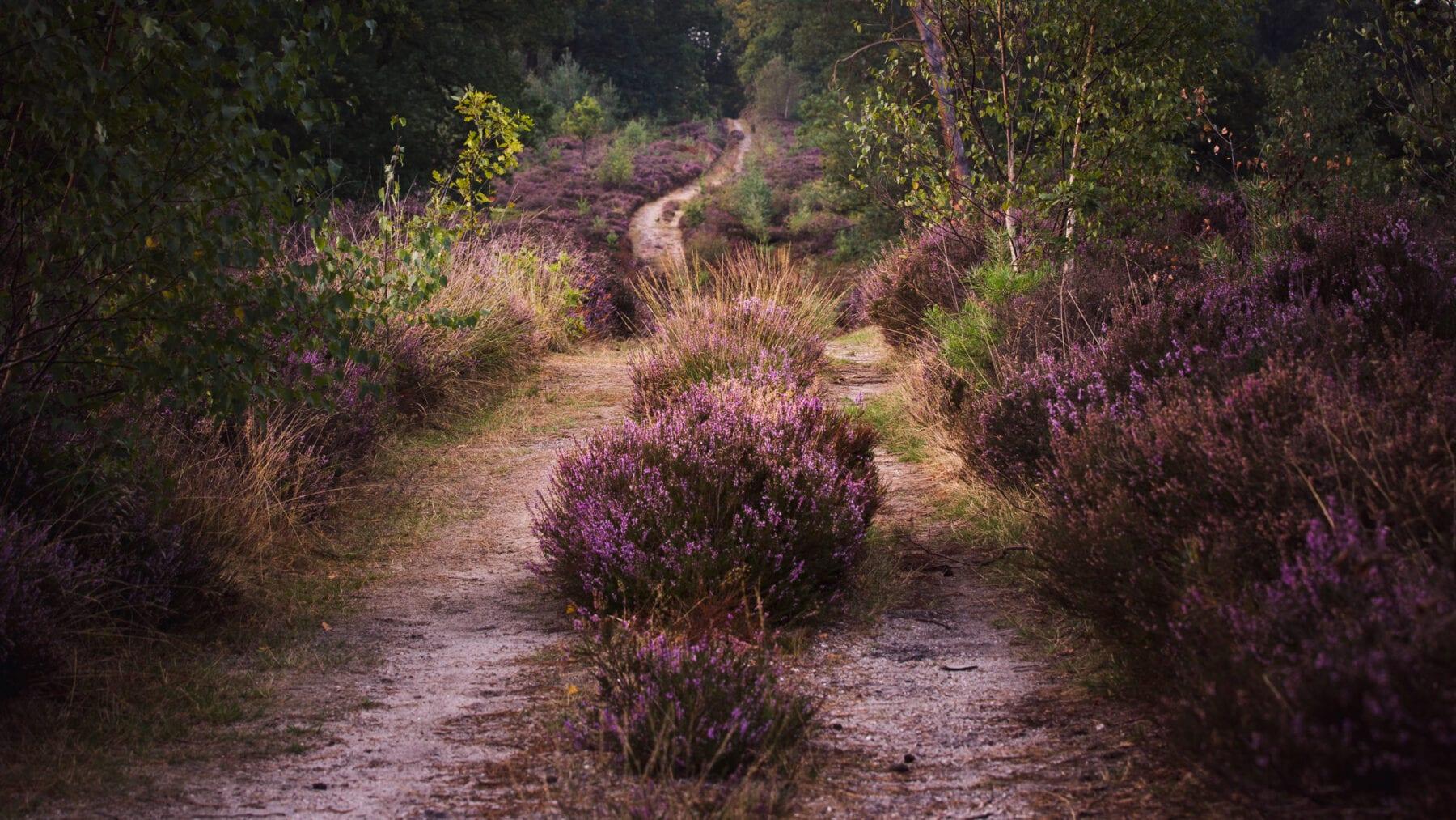 Nationaal Park de Sallandse Heuvelrug foto Ronald Jansen Paarse Heide