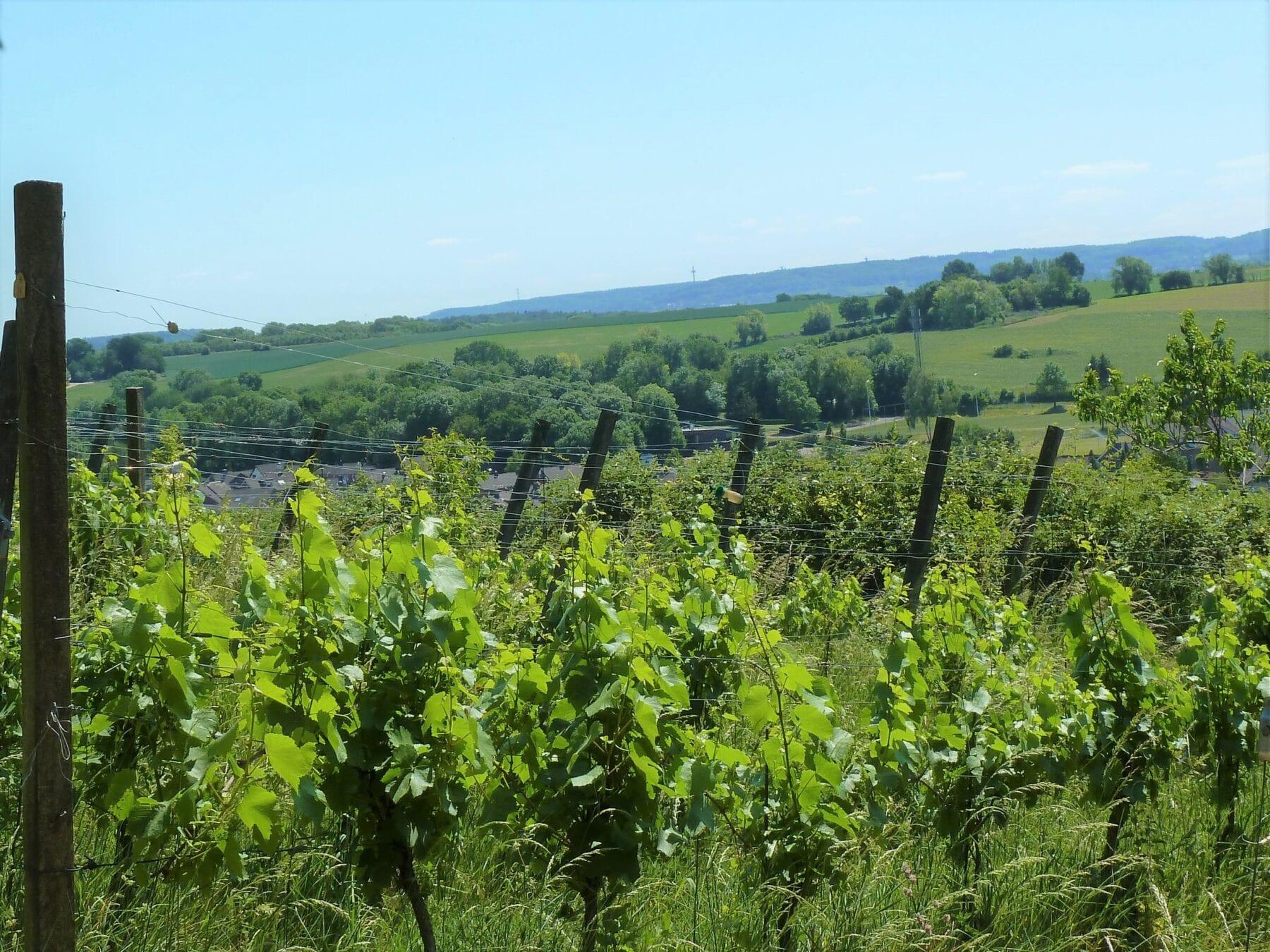 Route des vins Zuid-Limburg wijnranken