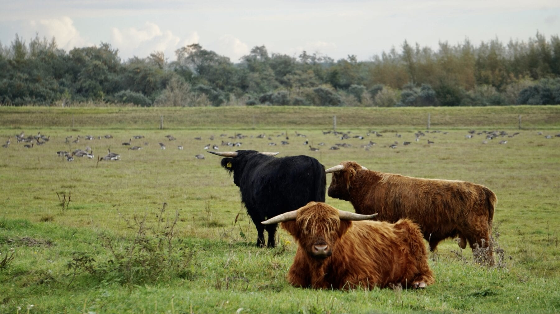 Schotse Hooglanders Nationaal Park Lauwersmeer
