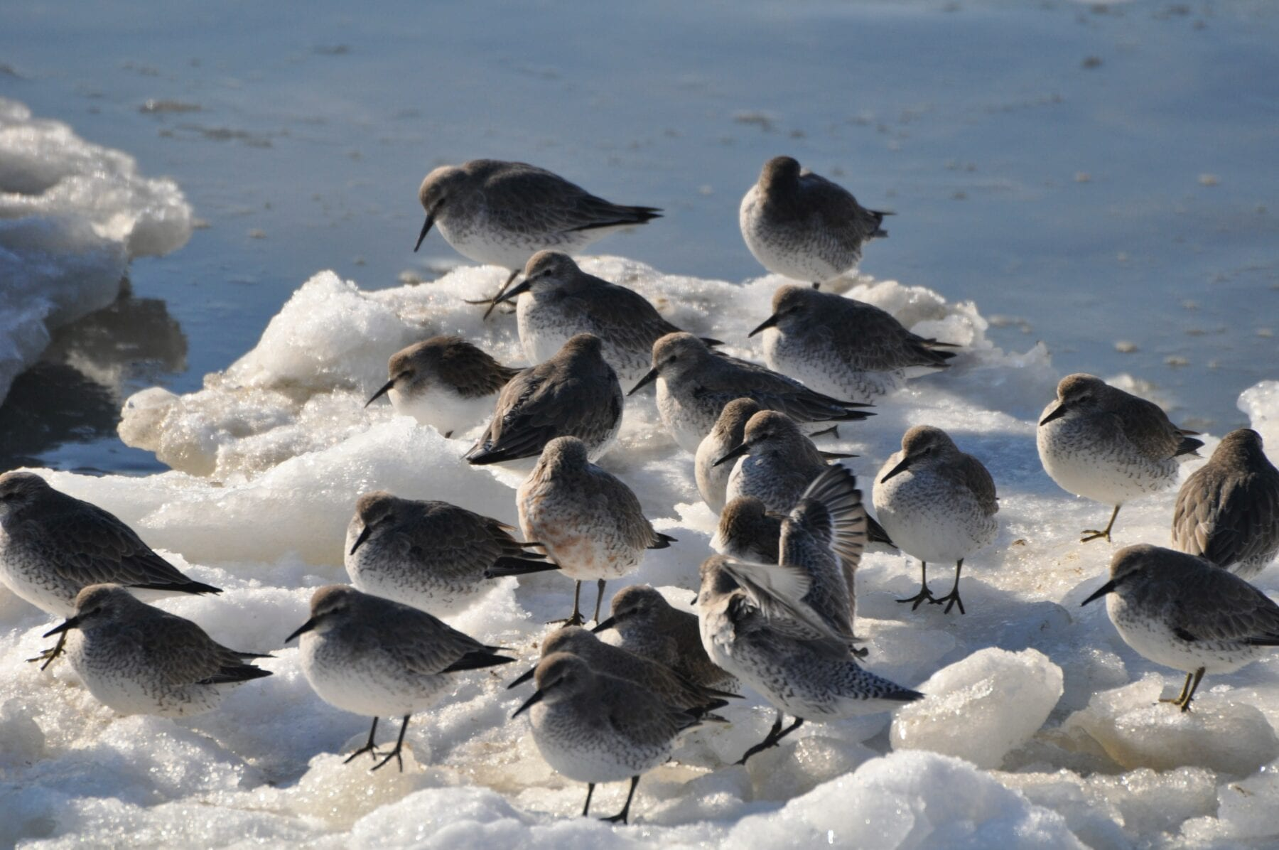 Het waddengebied vogels