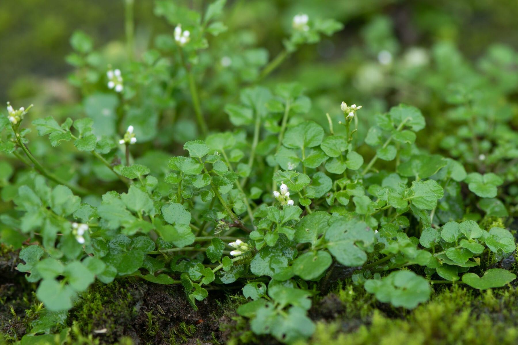 Eetbare wilde planten veldkers