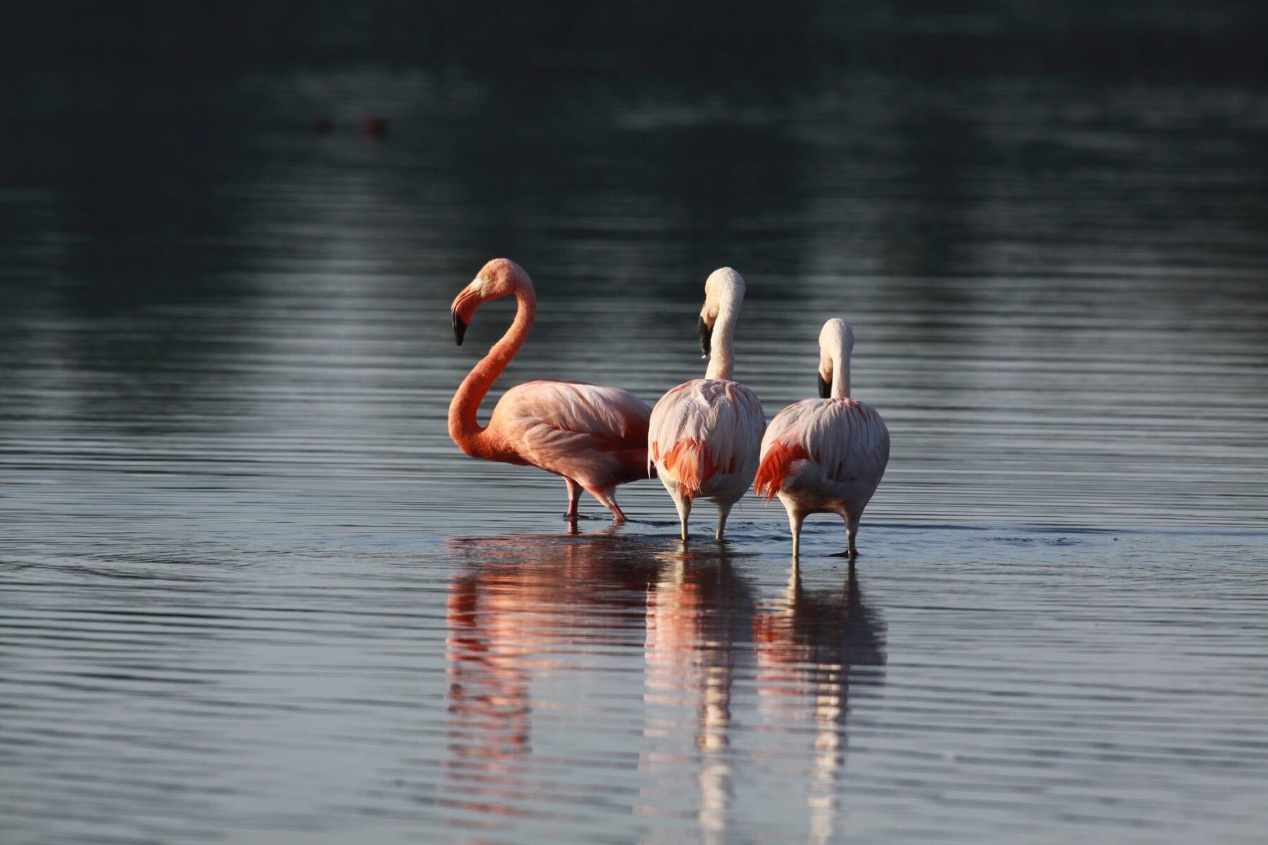 Nordrhein Westfalen Flamingo