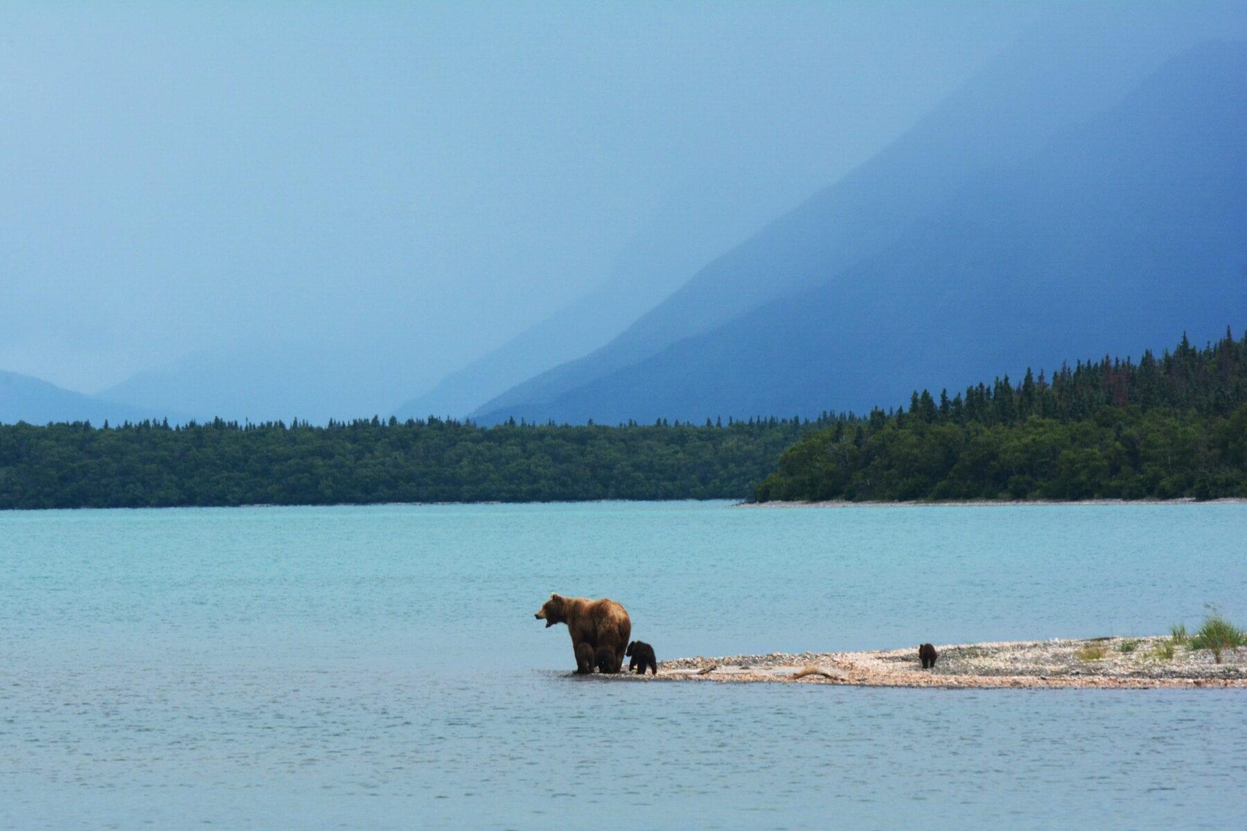 foto's alaska beren