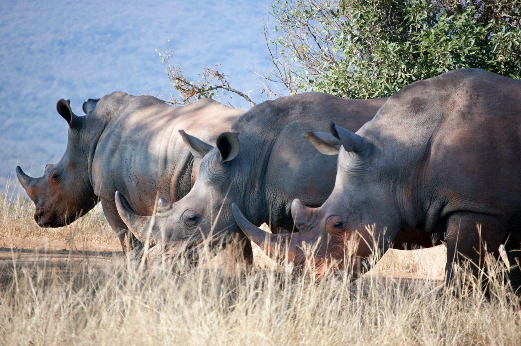 Zuid-Afrika Neushoorn