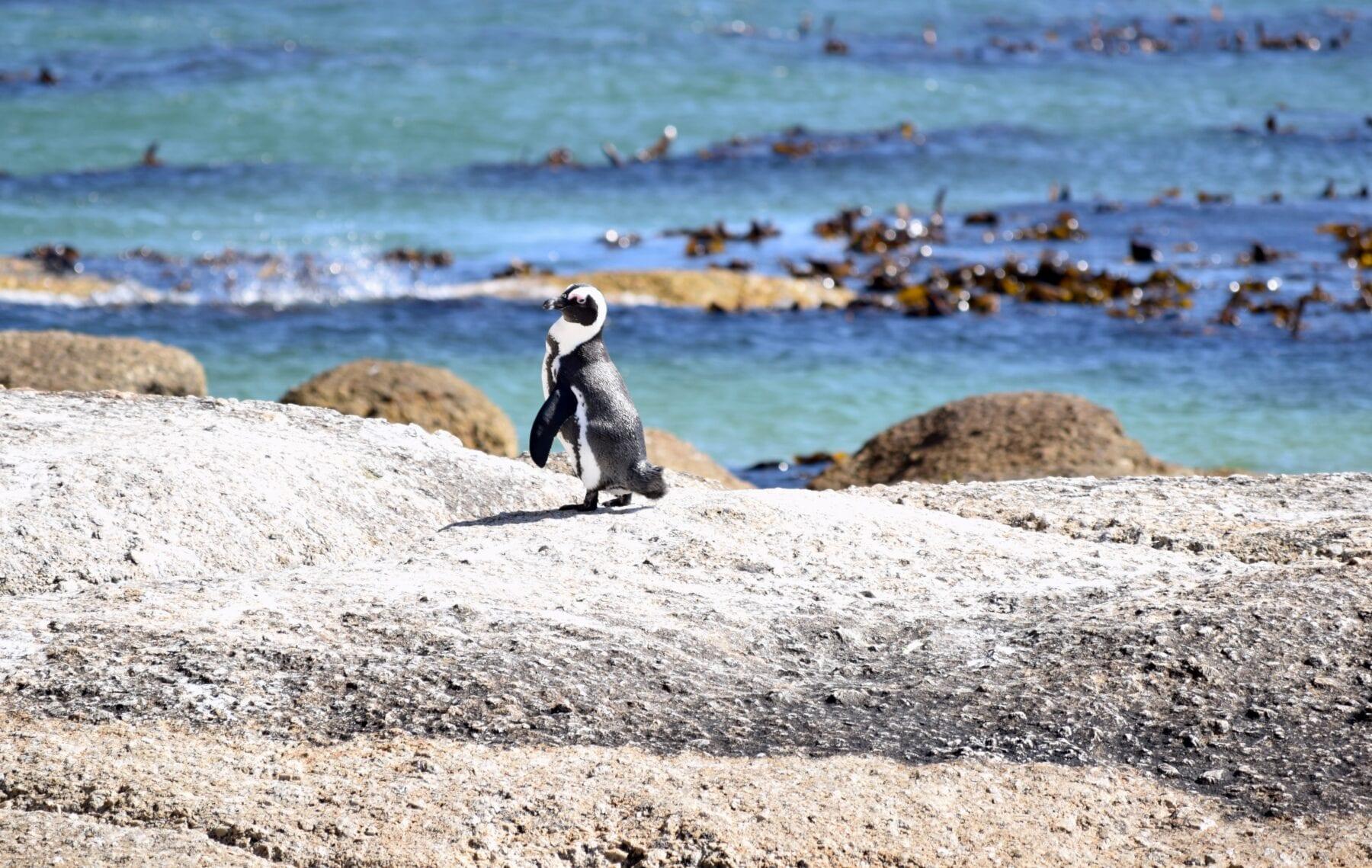 Zuid-Afrika Pinguin