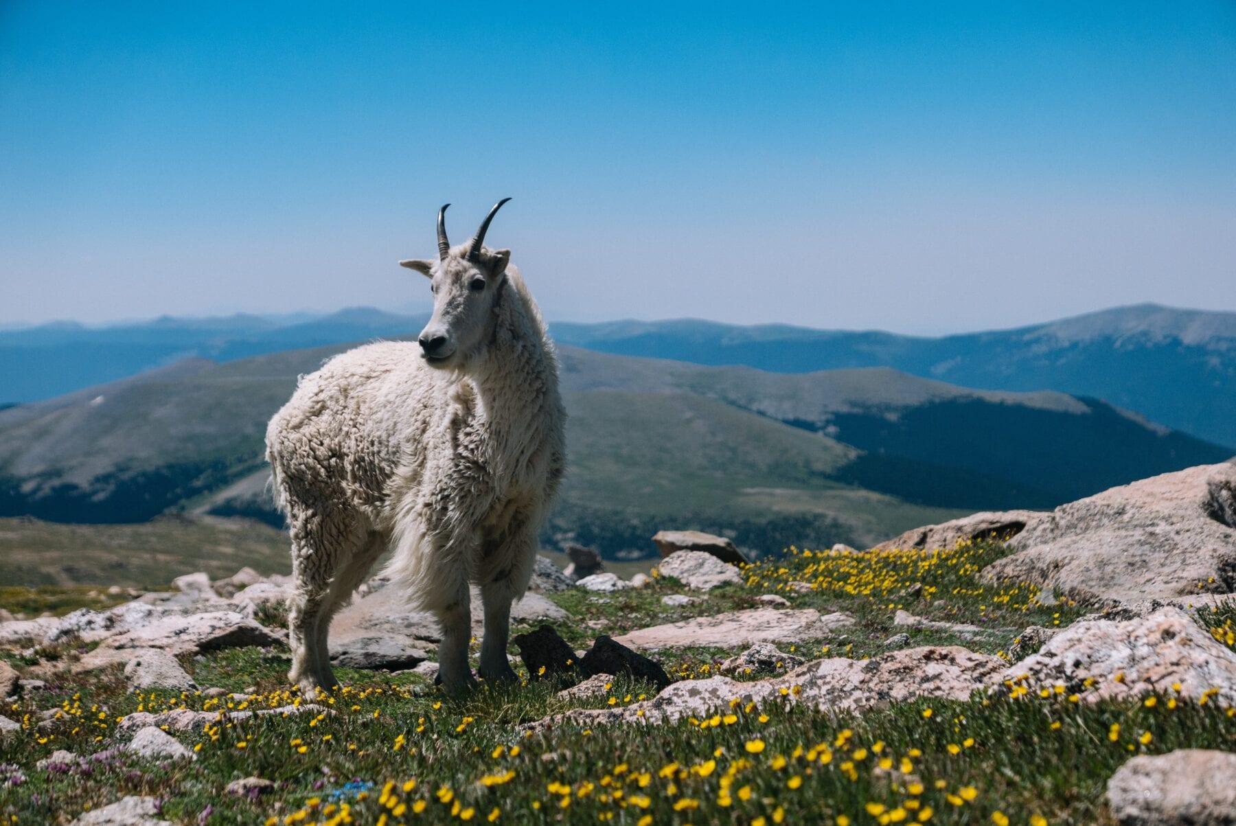 Berggeit Mountain Goat