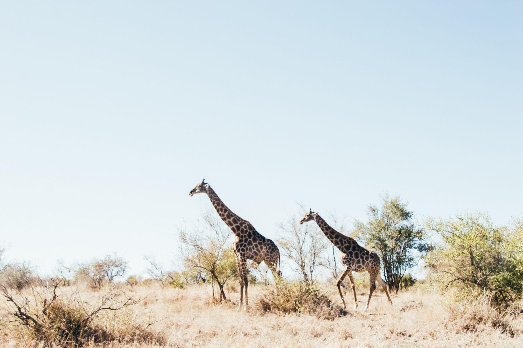 Zuid-Afrika Giraffe