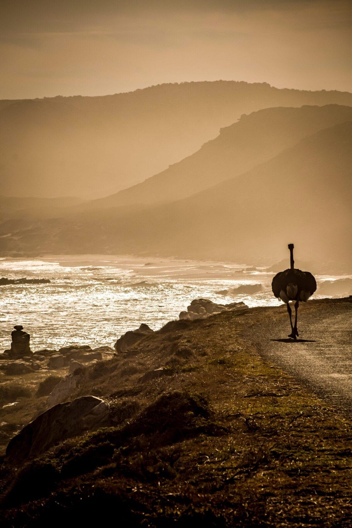 Zuid-Afrika Struisvogel