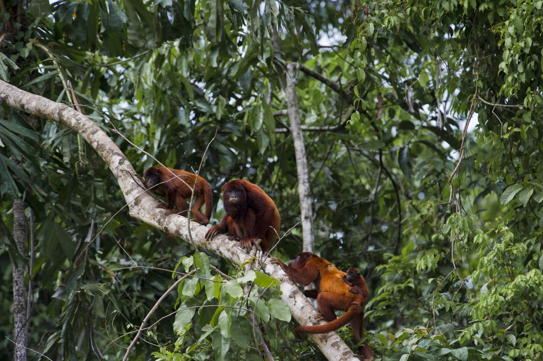 Amazone Peru Manú