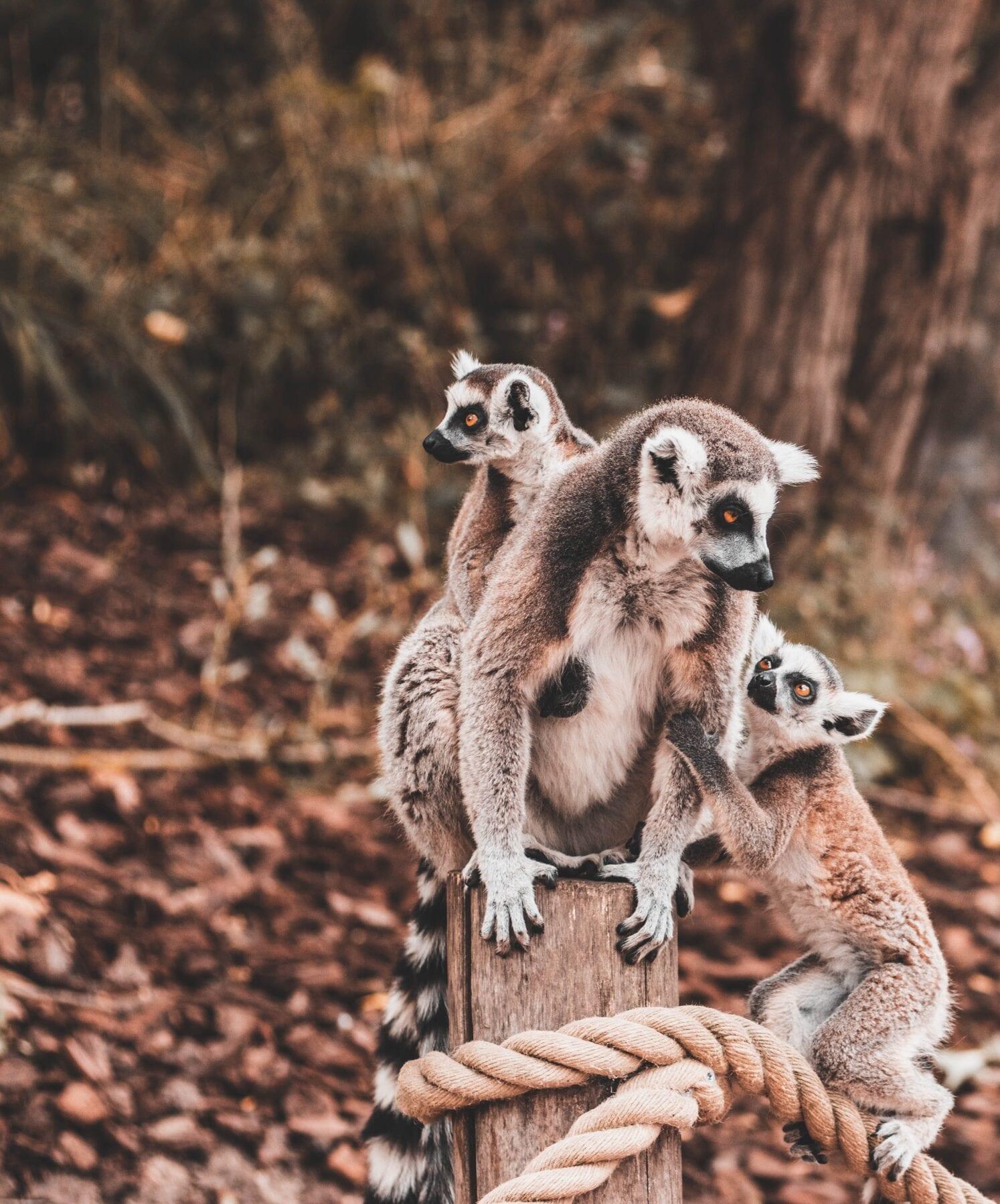 Madagascar maki's