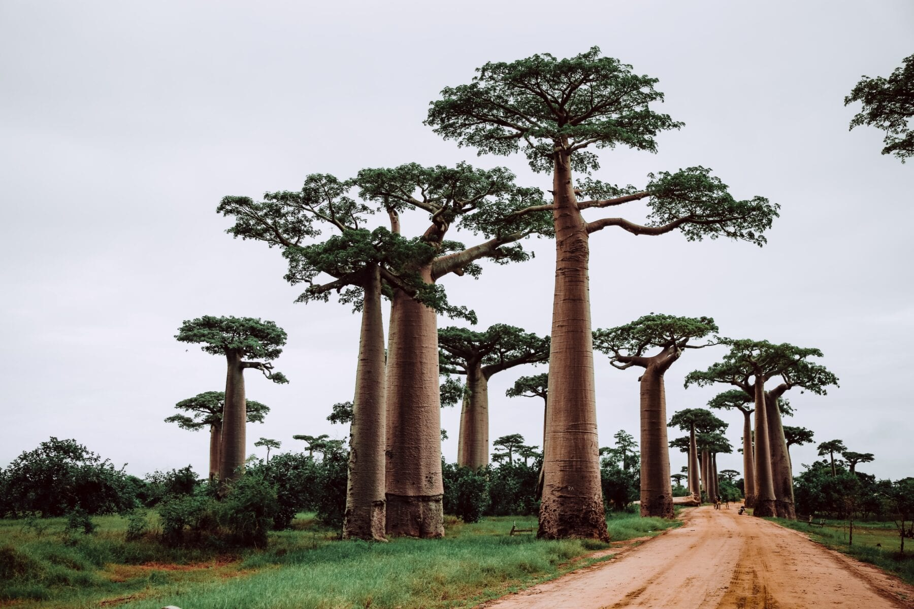 Madagascar bomen