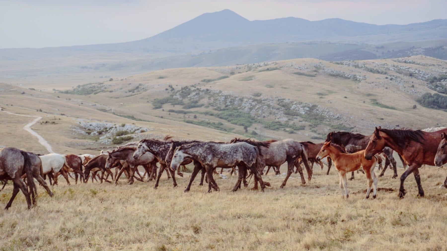 Wilde paarden in de landschappen van Bosnië en Herzegovina
