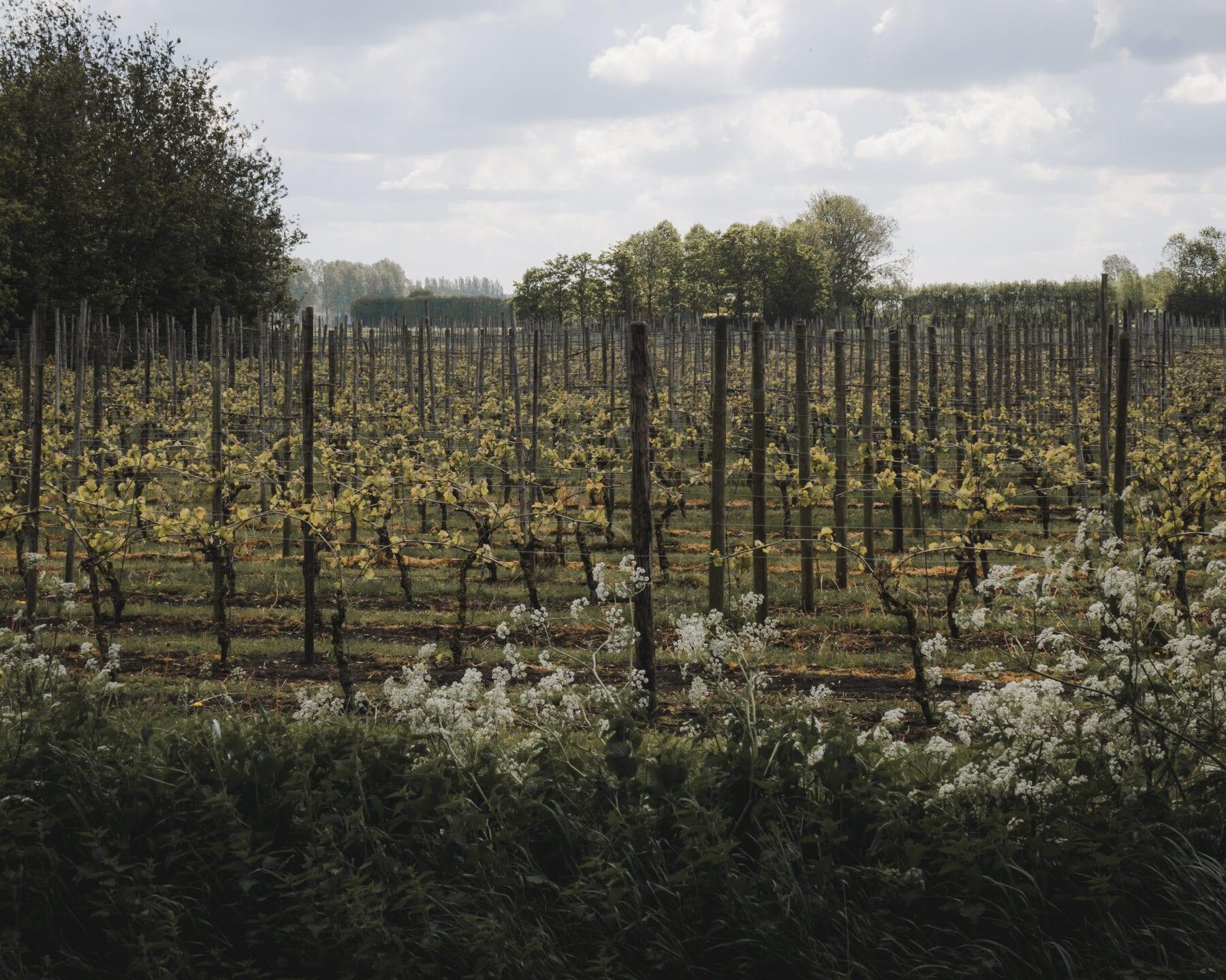 De Biezen - Wijngaard 't Biezenhof 2