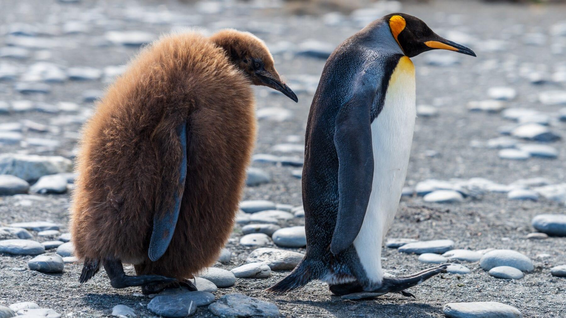 Hebben pinguïns knieën