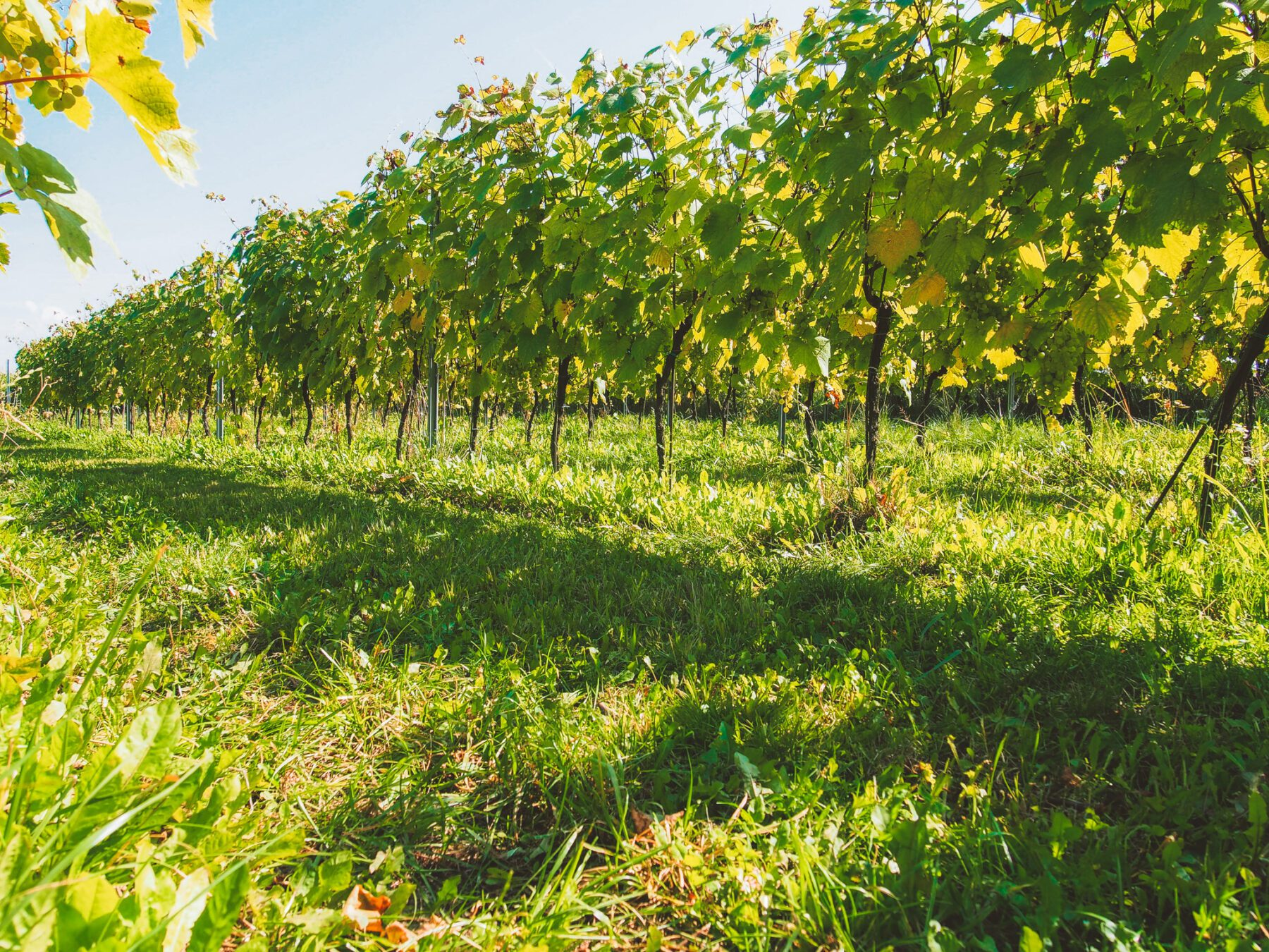 Fietsen in Polen door de wijngaarden